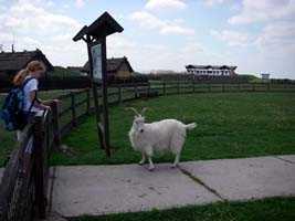 Goat at the rare breeds farm