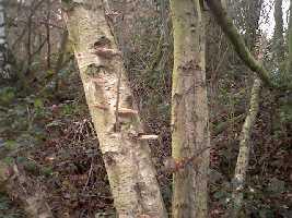 Bracket fungii