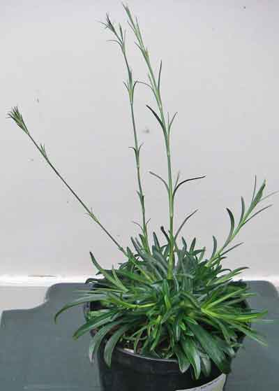 Large image of Dianthus Armeria in pot - ready to flower in first year