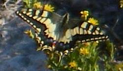 Swallowtail butterfly seen near Red Tower