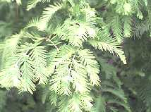 Metasequoia glyptostroboides foliage detail showing the leaves