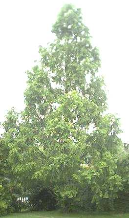 Metasequoia glyptostroboides in summer with leaves