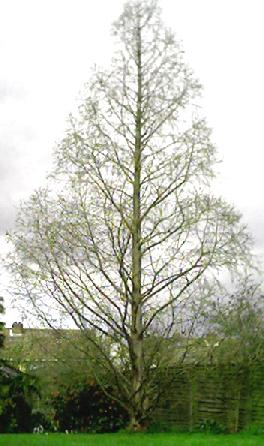 Metasequoia glyptostroboides in winter with no foliage