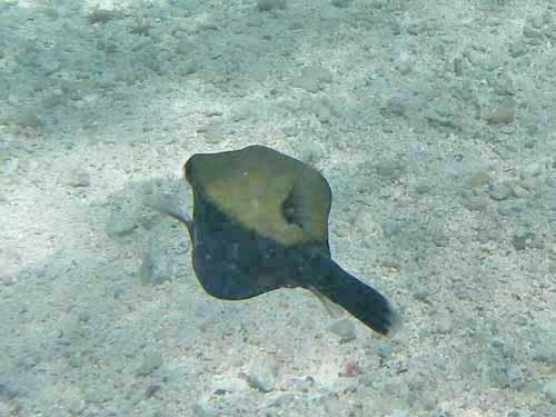 Arabian Box fish