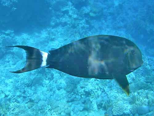 Black Sturgeon fish