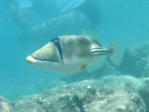 Picassa Trigger fish