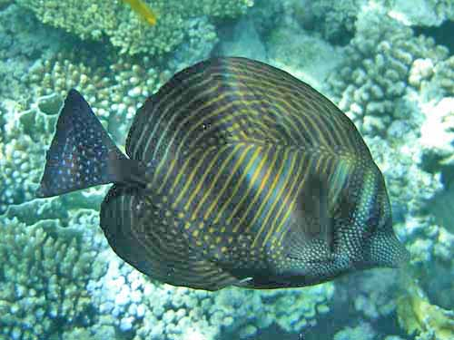Sailfin Sturgeon fish