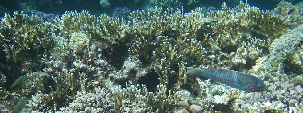 Klunzingers Wrasse fish
