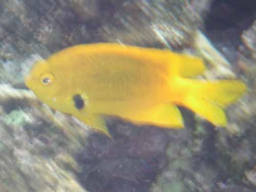 Sulphur Damselfish