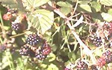Blackberries eaten on French walking holiday