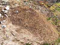 Ant hill in woods seen while walking near River Dee.